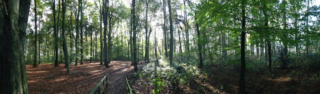 A panorama of a woodland in Normanby Hall Country Park showing the beauty of a Beech woodland for users to enjoy.