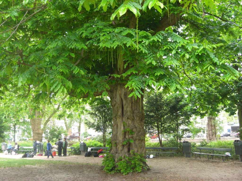 A large tree in a park setting, showing the use of careful design to help retain trees during development.