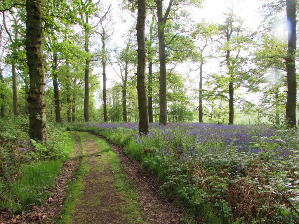 A beautiful view of an Oak woodland with a sea of ferns and bluebells with the sun light making a glow after the rain has stopped